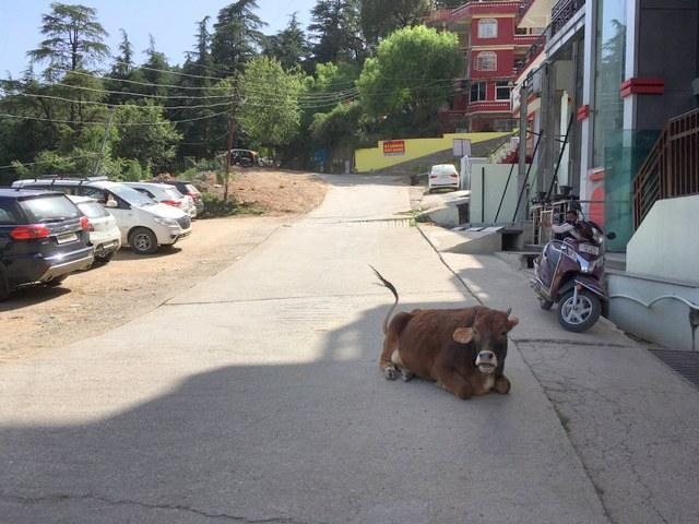 インド 道 牛